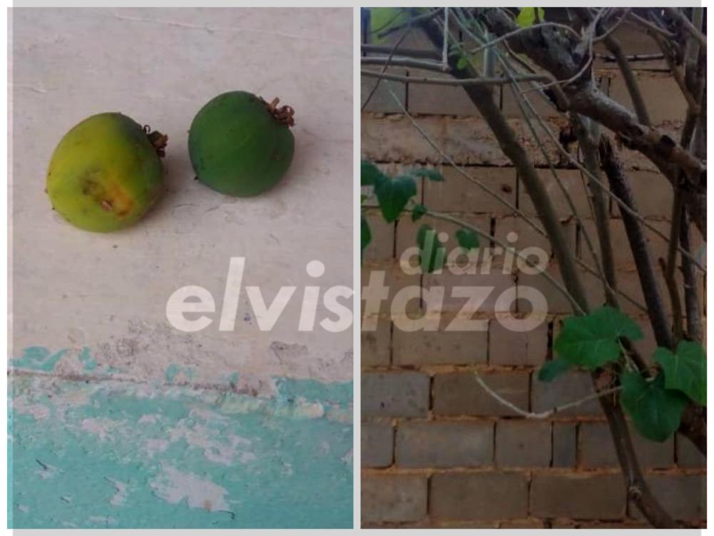 Fuera de peligro tres niños intoxicados en Anzoátegui por comer Piñón de Jardín